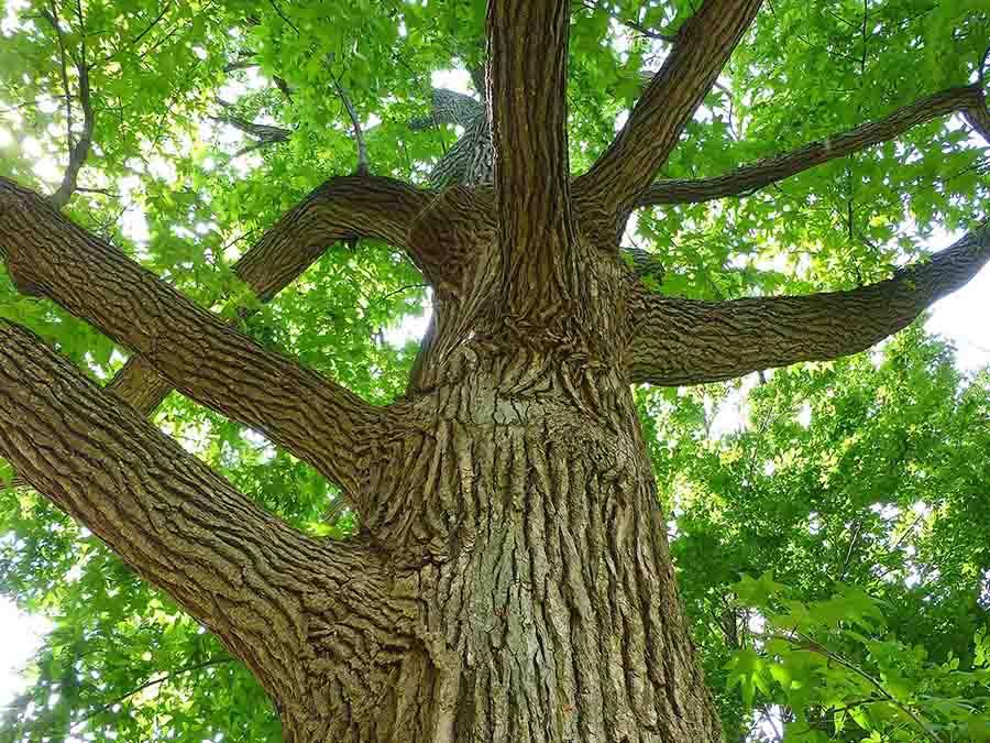 cây gỗ sồi tán xanh